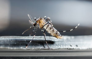 Moustique Tigre et cas de Dengue Lot-et-Garonne